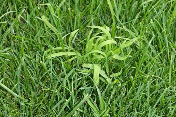 noch nicht bestockte Hirse im Rasen