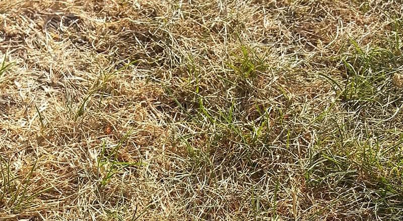 Vertrocknete Rasenfläche