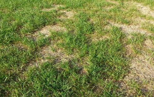 Rasen mit deutlichen Schadstellen nach dem Hitzesommer