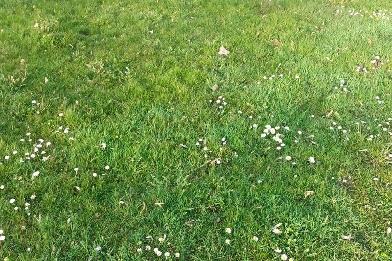 Die Wichtigsten Breitblattrigen Unkrauter Im Rasen Hauert Rasenblog