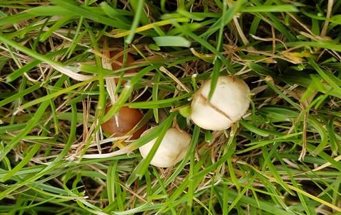 Hutpilz im Rasen