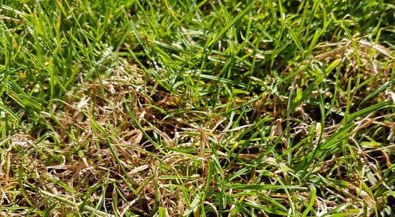 Gelbliche Gräser und Rotspitzigkeit – Folgen der vergangenen Witterung