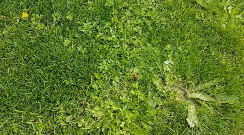 Rasen voller Unkraut