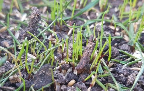 Frisch gekeimter Rasen nach 8 Tagen