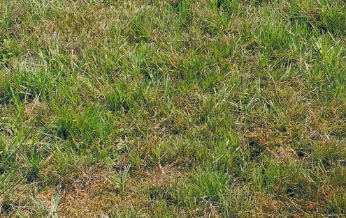 Moss im Rasen