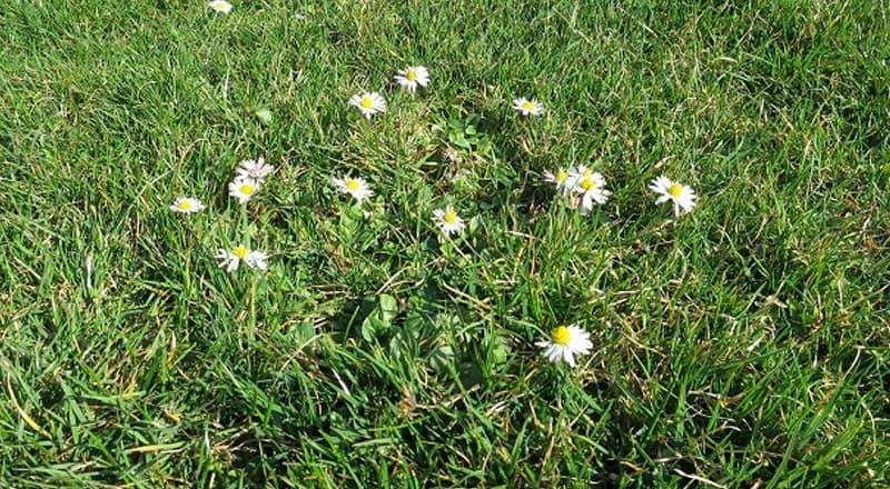 Gänseblümchen im Rasen
