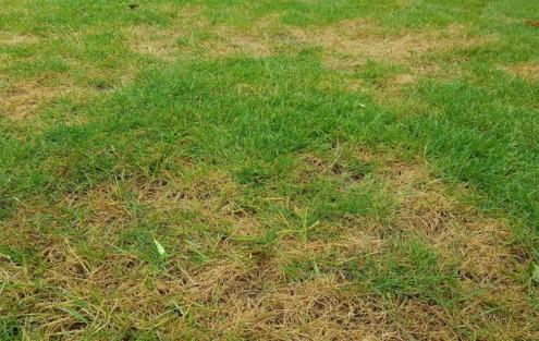 Rasenschäden durch Trockenheit