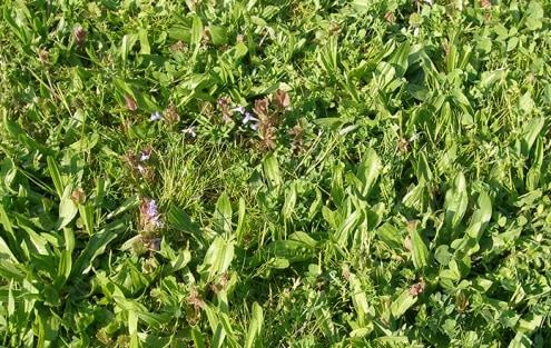 Verschiedene Unkräuter im Rasen