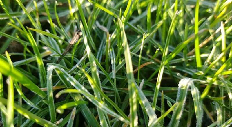 Rasen nach Nachtfrost