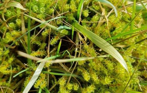 Moos durchsetzter Rasen